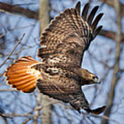 Redtail Hawk Square Poster by Bill Wakeley