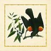 Redwing Blackbird Square Poster