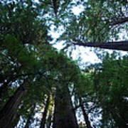 Redwoods II Poster