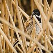 Reed Bunting Poster