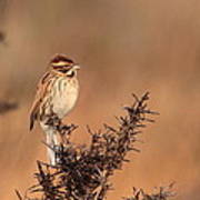 Reed Bunting Poster by Peter Skelton