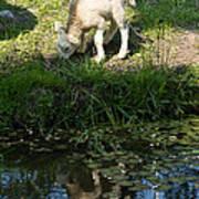 Reflected Cute Little Lamb Poster