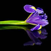 Reflected Iris Poster