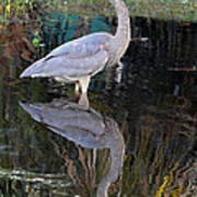 Reflecting Great Blue Heron Poster