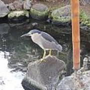 Reflection Of A Black-crowned Night Heron Poster