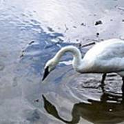 Reflection Of A Lone White Swan Poster