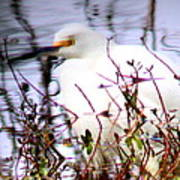 Reflection Of A Snowy Egret Poster