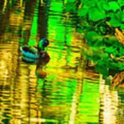 Reflections Of A Mallard Duck Poster