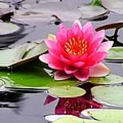 Reflections Of A Pink Waterlily  Poster