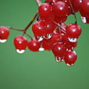 Reflective Red Berries  Poster