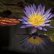 Reflective Water Lily Still Life Poster