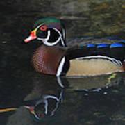 Reflective Wood Duck Poster by Deborah Benoit
