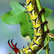 Regal Moth Caterpillar Poster