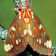 Regal Moth Poster