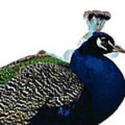 Regal Peacock Poster