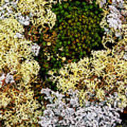 Reindeer Moss And Lichens Poster