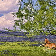 Resting Among The Bluebonnets Poster