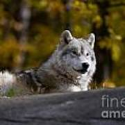 Resting Arctic Wolf On Rocks Poster