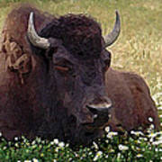 Resting Bison Poster
