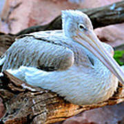 Resting Great White Pelican Poster
