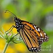 Resting Monarch Butterfly Poster