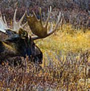 Resting Moose Poster