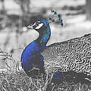 Resting Peacock Poster