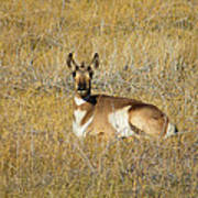 Resting Pronghorn Poster by Sarah Crites