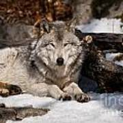 Resting Timber Wolf Poster