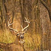 Resting White-tailed Deer Buck Poster