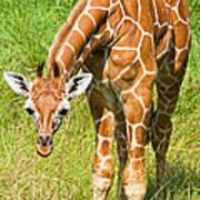 Reticulated Giraffe 6 Week Old Calf Poster