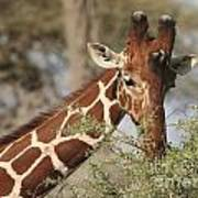 Reticulated Giraffe Feeding On Acacia Poster