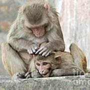 Rhesus Monkeys Grooming Poster