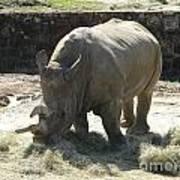Rhino Eating Poster