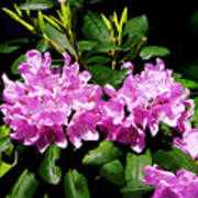Rhododendron Closeup Poster