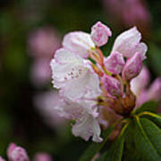 Rhododendron Enborne Poster
