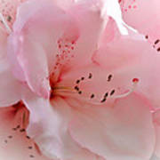 Pink Rhododendron Flower Poster
