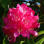 Rhododendron Glow Poster
