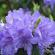 Rhododendron Impeditum Poster