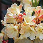 Rhododendron Nancy Evans Poster
