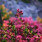 Rhododendron Pink Dream Poster