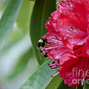 Rhododendron With Bumblebee Poster by Frank Tschakert