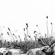 Ribwort Plantain Poster