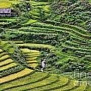 Rice Fields Vietnam Poster
