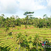 Rice Paddy Field Plantation Poster
