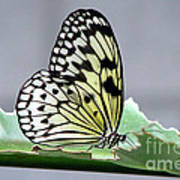 Rice Paper Butterfly On A Leaf Poster