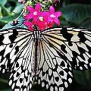 Rice Paper Butterfly On Pink Poster