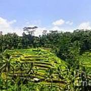 Rice Terrace In Bali Poster