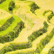 Rice Terraces Poster