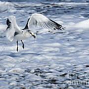 Ring-billed Gull Poster